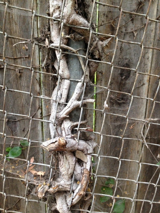 tree caught in fence